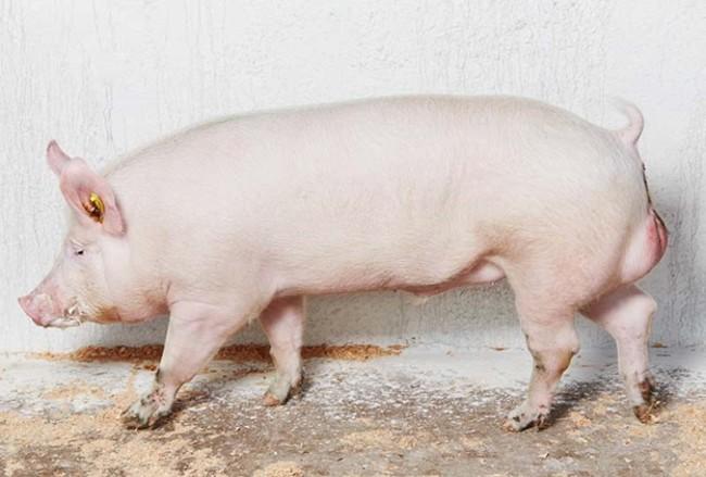 Беконная свинья