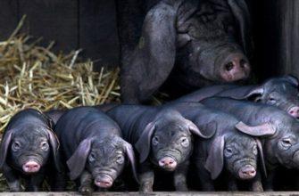 Черная свинья и поросята