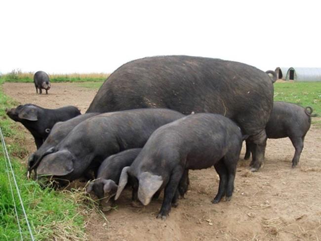 Черная свинья с поросятами