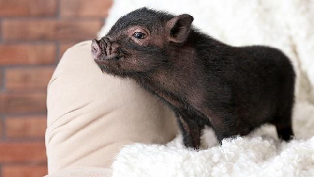 Черный мини-пиги