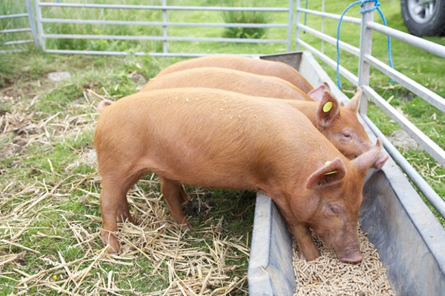 Откорм свиней премиксом