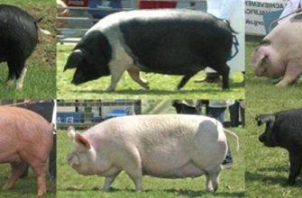 Разные породы свиней