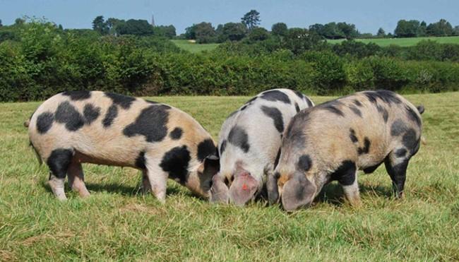 Свиньи Белорусской породы