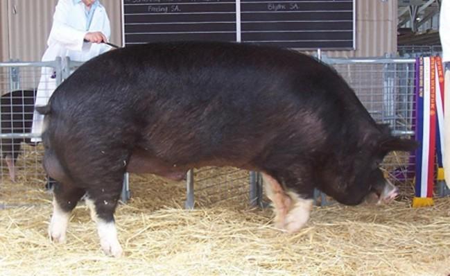 Свинья Беркширской породы