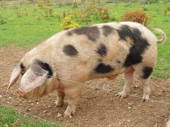Свинья Донской породы