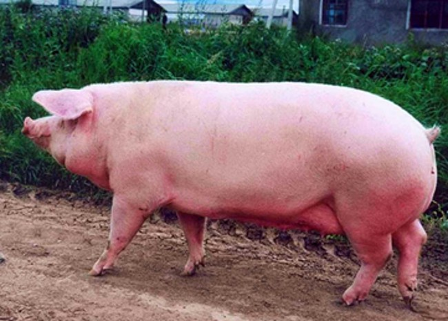 Свинья Эстонской породы