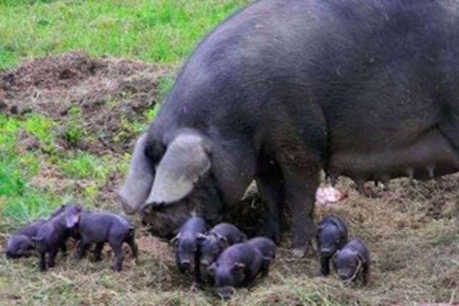 Свинья Корнуэльской породы