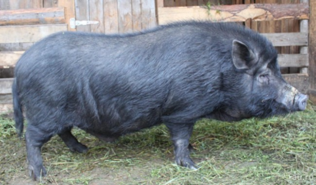 Свинья Крупной Черной породы