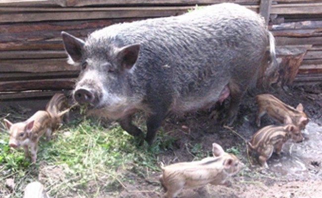 Свинья Мангал