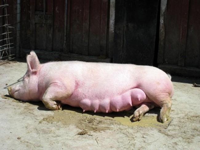 Свинья СМ-1
