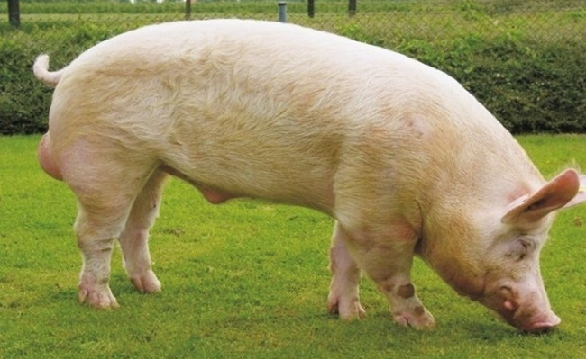 Свинья Украинской белой степной породы