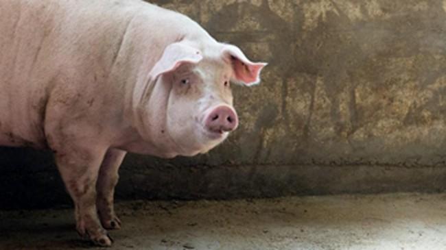 Свинья Ужмурской породы
