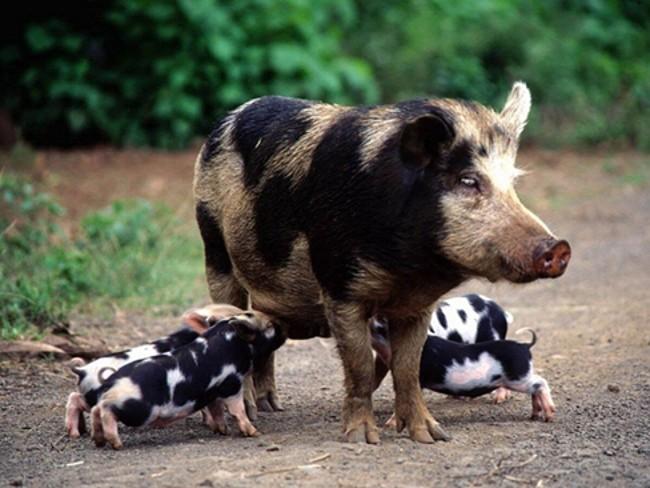 Свинья белорусской породы