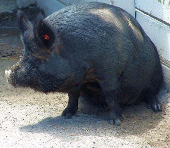 Свинья гвинейской породы