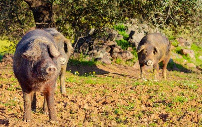 Свинья иберийской породы