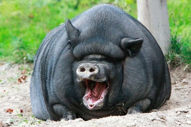 Свинья вьетнамской породы
