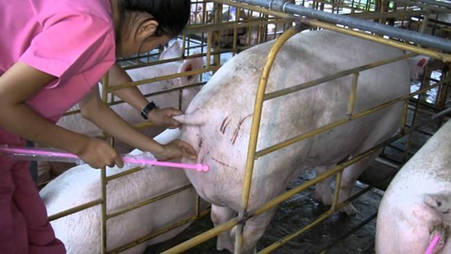 Забор анализов на беременность у свиньи