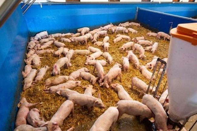 Много свиней в вольере