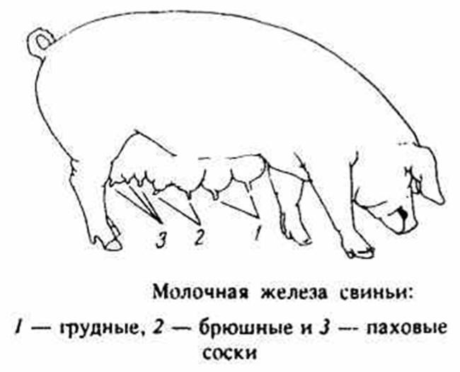 Молочные железы свиньи