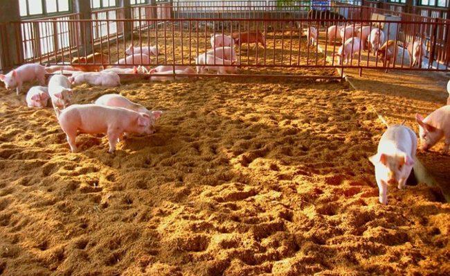 Свиньи в вольере с глубокой подстилкой