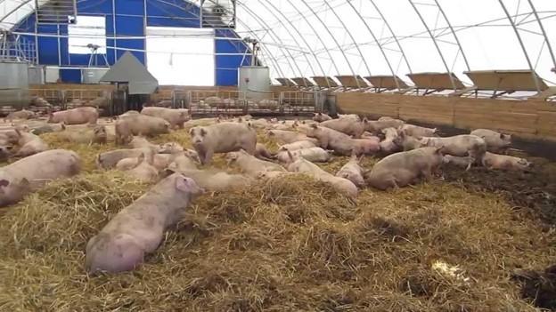Свиньи в вольере
